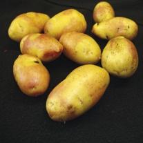 Potato (Maincrop) Inca Bella
