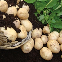 Potato (Maincrop) Pentland Crown