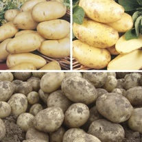 Late Cropping Potato Collection