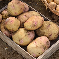 Potato (Maincrop) Cara