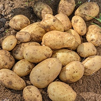 Potato Isle of Jura (Maincrop Albert Bartlett Seed Potato)