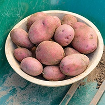 Potato Red Duke of York AGM (First Early Seed Potato)