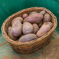 Potato (Early Maincrop) Sarpo Blue Danube