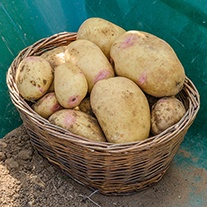 Potato Vales Sovereign (Maincrop Seed Potato)