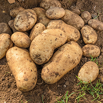 Potato International Kidney (Maincrop Seed Potato)