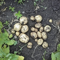 Potato Kingsman (Maincrop Seed Potato)