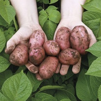 Potato Sarpo Una (Second early seed potato)