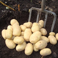 Potato Wilja (Second Early)