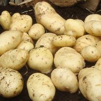 Potato Sharpes' Express (First Early Seed Potato)