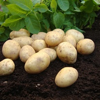 Potato Duke of York (First Early Seed Potato)
