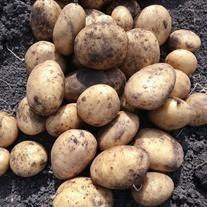 Potato Marvel (Maincrop Seed Potato)