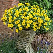 PowerDaisy™ Sunny Plant