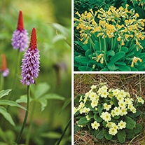 Primula Plant Collection