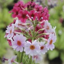 Primula japonica 9cm Moisture and Shade Loving Plant