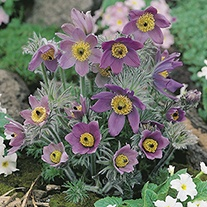 Pulsatilla vulgaris Lilac plants