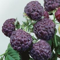 Raspberry Glen Coe Plant
