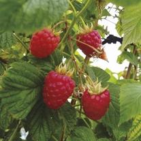 Raspberry Tadmor Canes