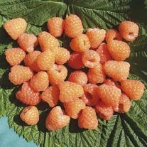Raspberry Valentina Canes