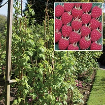 Raspberry Glen Ample AGM Fruit Canes (Floricane)