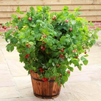 Raspberry Ruby Beauty Plant (Floricane)
