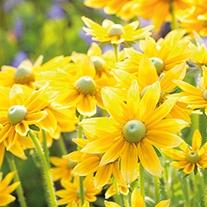 Rudbeckia Prairie Sun plants