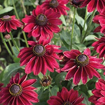 Rudbeckia Cherry Brandy Plants