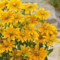 Rudbeckia Lemon Smiley plants