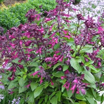 Salvia Love and Wishes Plants