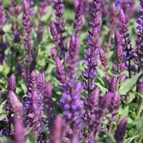 Salvia Salvatore Blue Flower Plants