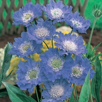 Scabious Fama Blue Plants