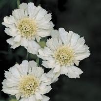 Scabious Fama White Plants