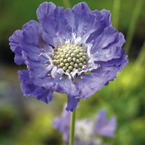 Scabious caucasia Perfecta Blue Flower Plants