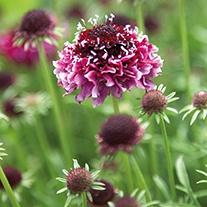 Scabious Beaujolais Bonnets Plant