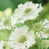 Scabious Perfecta Alba Plant