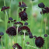 Scabious Chile Black Plant