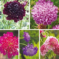Scabious Plant Collection