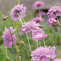 Scabious Flower Plant Collection