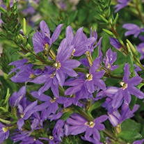 Scaevola Dream Blue Plants