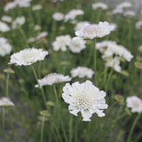 Scabious Kudo White Flower Plants
