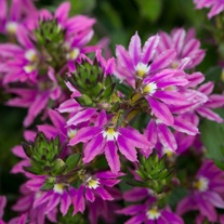 Scaevola Surdiva Fashion Pink Flower Plants