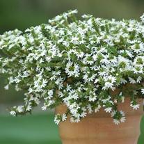 Scaevola Surdiva White Flower Plants