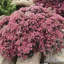 Sedum Sunsparkle Dazzleberry Plants