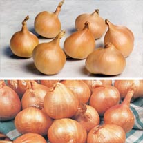 Shallot Collection
