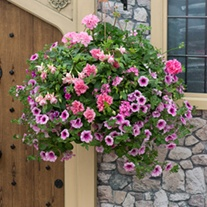 Pink To Rose Basket Mix Plants