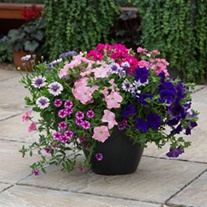 Sophistication Container Mix Plants