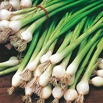 Spring Onion White Lisbon Plants
