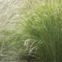 Stipa tenuissima Pony Tails Plants