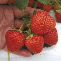 Strawberry (Extra Early Season) Mae