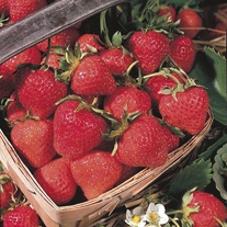 Strawberry Cambridge Favourite AGM A+ Grade Fruit Plants (Mid Season)