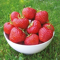 Strawberry Plants Fenella A+ Grade